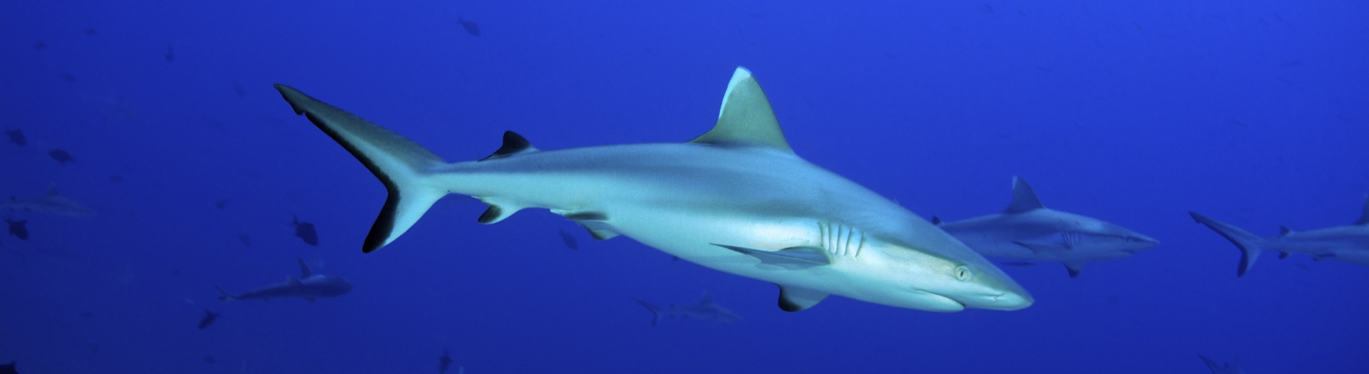 Liveaboard Maldives - Meet sharks